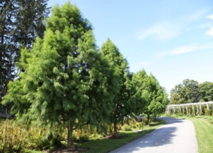 Here they are in 2013 - much more full in appearance. These trees are slow growers, but they fill out very nicely.