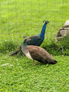 Peafowl are members of the pheasant family. There are two Asiatic species – the blue or Indian peafowl native to India and Sri Lanka, and the green peafowl originally from Java and Burma, and one African species, the Congo peafowl from African rain forests.