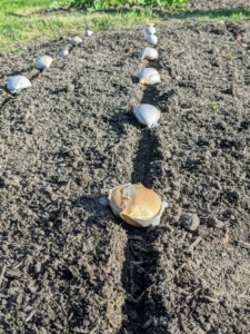 The garlic cloves were soaked in fish emulsion to give them a fertilizer boost and to rid them of possible diseases, which could have been carried by the garlic. Well spaced holes were made where the garlic was placed and then planted at least three to four inches deep.