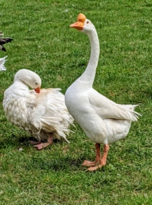 """Here, one can see the difference in body type between the slender Chinese goose and the Sebastopol on the left. The Chinese geese most likely descended from the swan goose in Asia, though over time developed different physical characteristics, such as longer necks and more compact bodies. The Chinese goose is a very hardy and low-maintenance breed. Because they can actively graze and forage for food, they are often nicknamed """"weeder geese."""" The Sebastopol is preening itself. Preening is a maintenance behavior where a bird uses its beak to position feathers, clean plumage, and get after any pesky bugs."""
