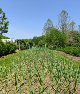 Here is the garlic bed in May - it's growing great.