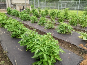 And the time goes quickly. Here are the tomato plants in early July when they were barely knee-high.