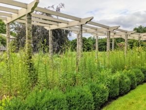 By early July, this pergola has thousands of waist-to-shoulder-high lily stems.