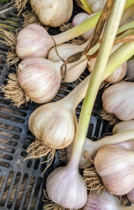 I plant lots of garlic at my Bedford, New York farm and up at Skylands, my home in Maine. Garlic is divided into two categories - the supermarket variety, softneck, which produces long-lasting bulbs with many cloves around a soft center stem, and hardneck, which are noted for their stiff central stalk, fewer cloves, relatively short shelf life, and intriguingly complex flavors.