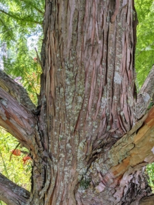 The bark of the bald cypress is brown to gray and forms long scaly, fibrous ridges on the trunk. Over time, these ridges tend to peel off the trunk in strips.