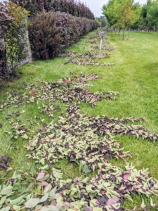 It doesn't take long for the ground to fill with clippings – and this is just from the front of the hedge.