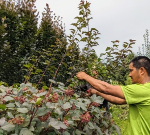 The smaller shrubs are the alternating Physocarpus opulifolius 'Diabolo' and Cotinus coggygria 'Royal Purple'. Pasang and Domi from my outdoor grounds crew do a lot of the pruning around the farm. They pruned all the specimens – cutting down more than a foot off the tops in some areas. We keep this outer hedge in line with the fence, so the taller hedge of purple columnar beech trees, Fagus sylvatica 'Dawyck Purple' can also be seen.