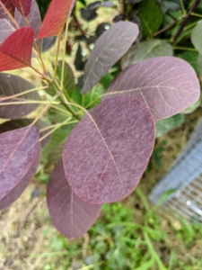 Also known as smoketree or smoke bush, Cotinus is a genus of two species of flowering plants in the family Anacardiaceae, closely related to the sumacs. They are a great choice for massing or for hedges. The stunning dark red-purple foliage turns scarlet in autumn and has plume-like seed clusters, which appear after the flowers and give a long-lasting, smoky haze to branch tips.