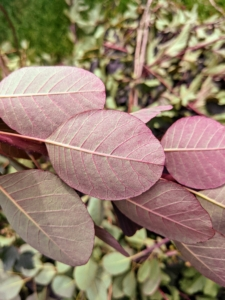 The underside of the leaves is also very pretty. Their smooth, rounded leaves come in exceptional shades of clear pinkish-bronze, yellow, deep purple, and green.