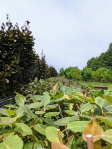 Here's a look at the top of the newly pruned hedge - so straight all the way down.