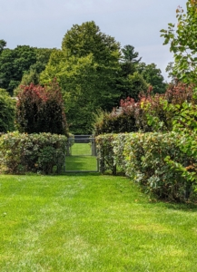 Here, one can see the beautiful layers of both the inside hedge and the outside hedge. They are doing so well and are a great contrast to the bright green lawn.