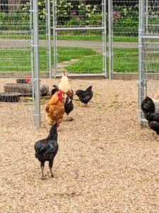 I started raising chickens when my daughter, Alexis, was just a little girl and I've been hooked ever since. I've always had enough egg-laying hens to provide me and my family with fresh, nutritious, organic eggs all through the year.