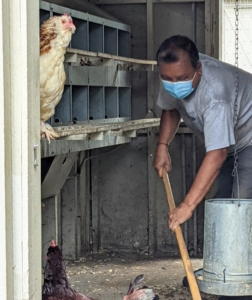 Here's Dawa cleaning out one of the coops. These coops are cleaned thoroughly every week. It's important that all these birds always have access to clean, dry bedding and good, fresh food.