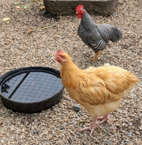The water bowls are checked frequently to ensure there is also fresh, clean water for drinking. Chickens are very vocal. They share more than 30-different calls to communicate with each other, and they can recognize up to 100 different human faces.