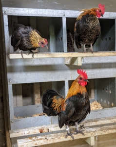 These are Seramas - the smallest recognized chicken breed in the world. Seramas are known for their upright posture, full breast, vertical, upright tail feathers held upright and close to the body, and vertical wings held down nearly touching the ground. Although they are small, they are quite mighty and mingle just fine with the rest of the flock.