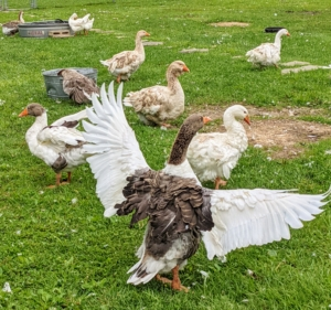 Although these birds are not good fliers, they do love to spread their wings. Due to their large size and upright posture, domestic geese can't really fly. Domestic geese have larger back ends than their wild counterparts and stand more upright.