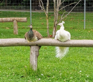 Peafowl are happiest when living in small groups. All my outdoor birds have access to natural perches made from old felled trees here at the farm.