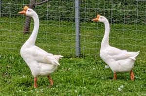Here is my pair of Chinese geese. The Chinese goose is refined and curvaceous. Its bill is relatively long and slender, with a large, rounded, erect knob that attaches to its forehead. The Chinese goose holds its head high. Its head flows seamlessly into a long, slim, well-arched neck which meets the body at about a 45 degree angle. Its body is short, and has a prominent and well-rounded chest, smooth breast and no keel. Mature ganders average 12 pounds, while mature geese average 10 pounds.