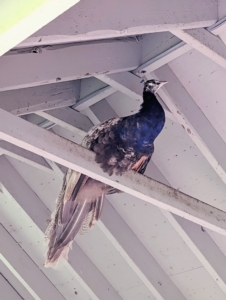 While peafowl are ground feeders and ground nesters, they still enjoy roosting at higher levels. In the wild, this keeps them safe from predators at night. Here is one inside the coop perched high on a rafter.