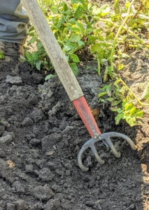 Chhiring drives the fork into the soil at the outside edges of the plant and then carefully lifts the plant.