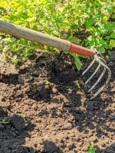 To harvest potatoes, Chhiring uses a rounded gardening fork. It has four tines that can pierce the ground more easily than would a shovel or a spade.