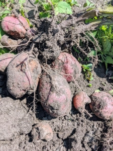 It's easy to see how the potatoes are connected to the plant at the root area. They're very easy to pull off, and often come loose by themselves. Leave any green potatoes alone. When potatoes are exposed to light, they turn green, a sign the toxic substance called solanine is developing, which may cause illness if eaten in large quantities.