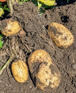 Once lifted, it reveals the potatoes below. The skins of mature potatoes are thick and firmly attached to the flesh. If the skins appear thin and rub off easily, the potatoes are still too 'new' and should be left in the ground for a few more days.