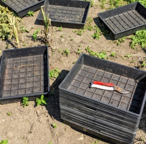 As the potatoes are picked, they're placed into shallow trays, separated by variety and color.
