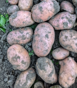 'Dark Red Norland' potatoes have red skin with shallow eyes and white flesh. It makes excellent potato salad and also stores well.