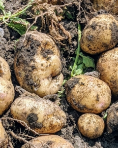 An entire potato plant grows from just one potato eye, although when planting, always plant a piece of potato with at least two eyes to ensure germination.