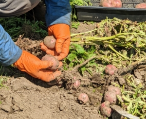 Chhiring goes through all the potatoes, separating any that were not in good condition. Another tip – never wash potatoes until right before using – washing them shortens the potato's storage life.