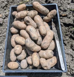 These are 'Russet Norkota' potatoes - tubers with smooth, red-brown skin, shallow eyes and white flesh. It is excellent for baking, frying or boiling and keeps well.