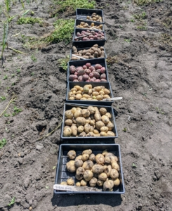 Look at our first harvest! Chhiring harvested two-and-a-half rows of potatoes. The last row will be harvested later as needed.