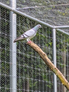 """They love to perch atop the branches waiting for visitors. We """"planted"""" this tree inside their enclosure. Pigeons also have excellent hearing. They can detect sounds at far lower frequencies than humans, and can hear distant storms and volcanoes."""