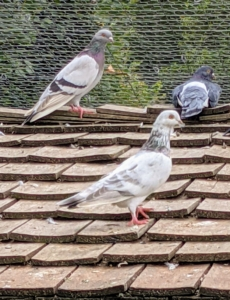 Pigeons have side-mounted eyes. Because pigeons have monocular vision rather than binocular vision, they bob their heads when they move so they have depth perception.