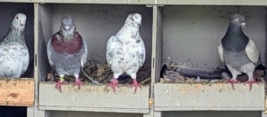 Pigeons are very docile, gentle and sweet-natured birds – everyone at the farm loves visiting them.