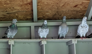 Pigeons are very observant and one of the most intelligent of all the bird species.