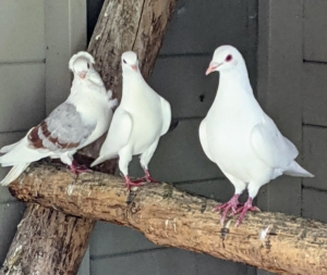 On the other side, we made another suitable ladder out of felled branches found right here at the farm. The pigeons love to perch on it and on nearby ledges during the day. Pigeons also breed all year round with peak breeding periods in spring and summer.