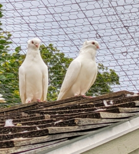 Here is a mating pair perched on the roof – able to see everything around them from this vantage point. These are Old German Owl pigeons – a breed of fancy pigeon, and the originator of the short faced German Shield Owls. The head is round, broad, with a well arched forehead and a small full shell crest, which is made of feathers that grow up toward the head rather than down along the body.