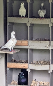 Inside is a wall of nesting spaces. Pigeons mate for life and both female and male pigeons share the responsibility of caring for and raising their young. They take turns incubating the eggs and both feed the chicks 'pigeon milk' – a special secretion from the lining of the crop which both sexes can produce.