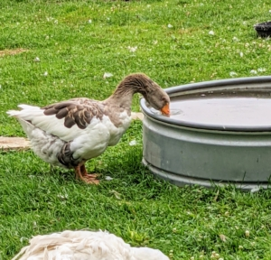 Because geese do not have lips or cheeks, they drink by filling their bills with water and then tilt their heads back to swallow, using gravity to send the liquid into their digestive tract.