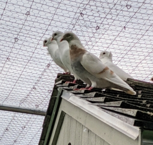 The entire coop is well protected from aerial predators. Here is a group of pigeons enjoying the views from the roof. Notice the protective fencing above them. An adult pigeon is about 13 inches in length and can weigh up to 20 ounces. The one in the front is an Isabella Tippler.