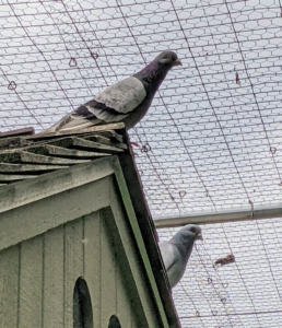 Pigeons are thought to navigate by sensing the earth's magnetic field and using the sun for direction. Other theories include the use of roads and even low-frequency seismic waves to find their way. This pigeon is a Dunn Tippler, known to be very adept at staying in flight for hours without stopping.