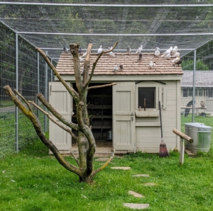 I currently have 40 pigeons housed behind one side of my Linden Allee and right next to my peafowl and geese. The dovecote is the perfect size for these fancy homing birds and the enclosure gives them lots of room to fly.