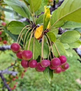 I also have a stand of young crabapple trees growing in front of the goose pen. At maturity, crabapple fruits vary from yellow to orange to bright red like these. The fruit of some crabapple varieties color and ripen in August, others mature in the fall.