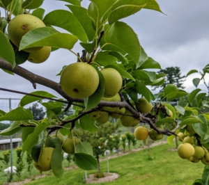 """Outside the enclosure I have my espalier of pear trees. There are so many fruits growing this year - I am so excited to eat these delicious pears. Here, I have six 'Shinseiki' and four 'Nijisseiki' pear trees. 'Shinseiki' Asian pear means """"new century"""" and was developed from two of the best Asian pears of the 1940s. The 'Shinseiki' Asian pear is round, medium to large, yellow smooth-skinned fruit with little or no russet. It has crisp, creamy white flesh, and a mild, sweet flavor. The 'Nijisseiki' pear, or the 20th Century Asian pear as it is often called, is incredibly delicious, easy to grow, and smells just like a pear, but, like an apple, the outside of the fruit is crisp, firm and round."""
