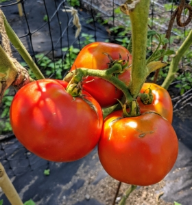 Tomatoes are an excellent source of beta-carotene, vitamins C and K, calcium, potassium, folate, and of course – lycopene. This variety is called 'Moskvich' which fruits early and ripens o a deep red. Rich in flavor, these are also good sized at about four to six ounces per tomato.