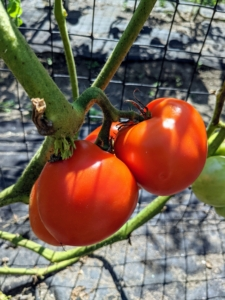 And these are 'Big Beef.' These tomatoes are perfect for slicing and adding to sandwiches. So many gorgeous tomatoes – all of them still suspended on the vine and looking perfect.