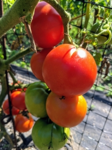 Planting can also be staggered to produce early, mid, and late-season tomato harvests. These are called 'Wisconsin 55' - refreshing, scarlet-red, round, mid-size slicing tomatoes.