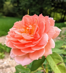 This is 'Carding Mill.' The full blooms are a blend of pink, apricot, and yellow, giving the overall impression of orange. They also have a wonderful fragrance close to myrrh.